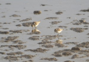 28-01-17-little-stint-no-6-tank-frodsham-marsh-bill-morton-54
