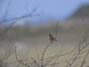 28-01-17-stonechat-no-5-tank-frodsham-marsh-bill-morton-1