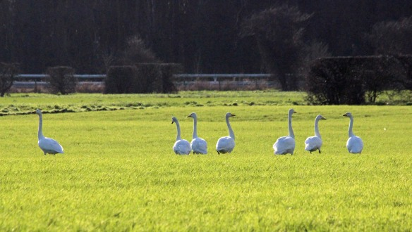 04-02-17-whooper-swans-holpool-gutter-ince-marsh-fields-paul-ralston