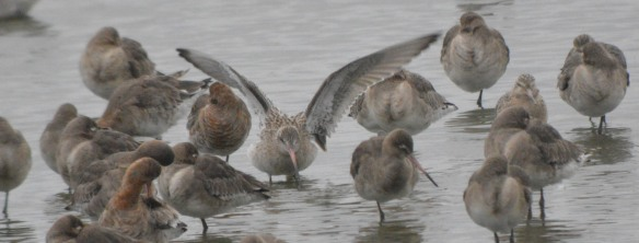 11-02-17-bar-tailed-and-black-tailed-godwits-no-6-tank-frodsham-marsh-bill-morton-11