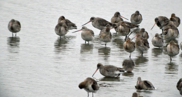 11-02-17-bar-tailed-and-black-tailed-godwits-no-6-tank-frodsham-marsh-bill-morton-3