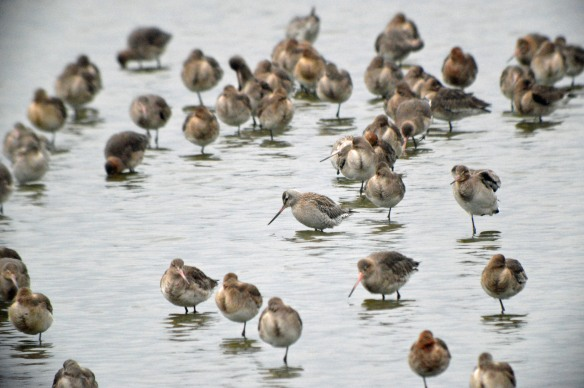 11-02-17-bar-tailed-and-black-tailed-godwits-no-6-tank-frodsham-marsh-bill-morton-6