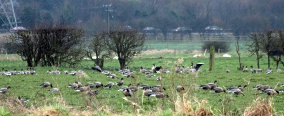 11-02-17-pink-footed-geese-lordship-marsh-frodsham-marsh-paul-ralston