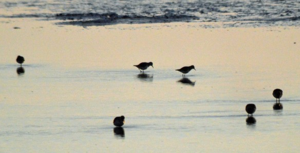 15-02-17-little-stints-and-dunlin-no-6-tank-frodsham-marsh-bill-morton-2