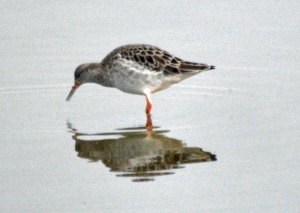 15-02-17-ruff-no-6-tank-frodsham-marsh-bill-morton