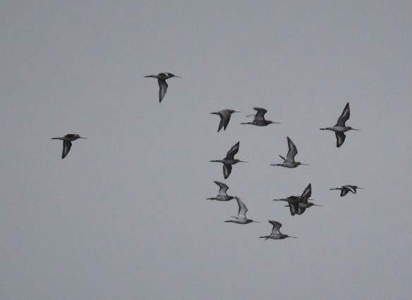 16-02-17-black-and-a-single-bar-tailed-godwits-no-6-tank-frodsham-marsh-bill-morton-2
