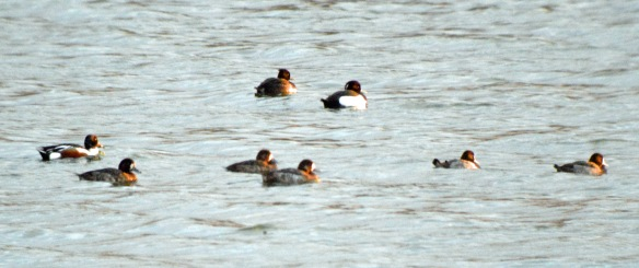 18-02-17-5-scaup-no-6-tank-frodsham-marsh-bill-morton