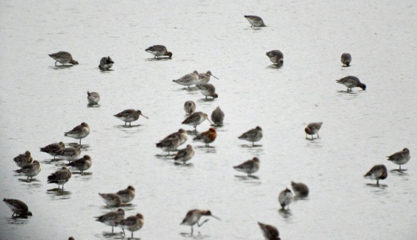 19-02-17-black-and-bar-tailed-godwits-no-6-tank-frodsham-marsh-bill-morton-1