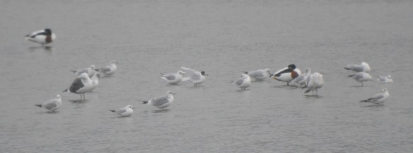 19-02-17-mediterreanean-gull-and-black-headed-gulls-no-6-tank-frodsham-marsh-bill-morton-2
