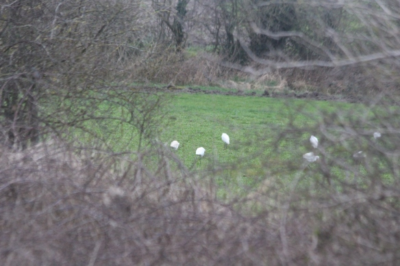 04-03-17-little-egrets-ince-berth-ince-marsh-paul-ralston