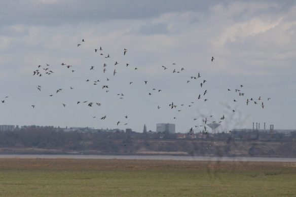 04-03-17-pink-footed-geese-frodsham-marsh-paul-ralston