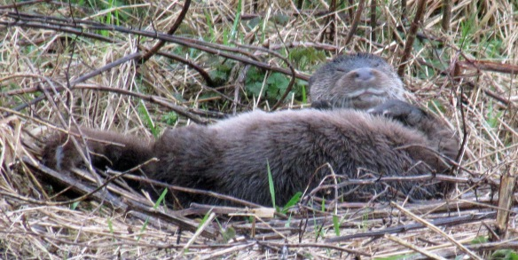 05-03-17-otter-female-moorditch-lane-frodsham-marsh-bill-morton-10