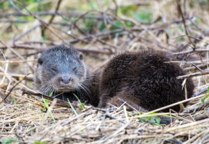 05-03-17-otter-female-moorditch-lane-frodsham-marsh-john-gilbody-2
