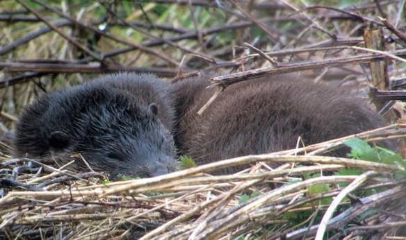 05-03-17-otter-female-moorditch-lane-frodsham-marsh-ron-brumby-1