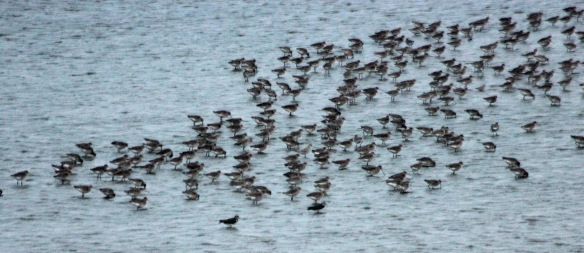 23-02-17-black-tailed-godwits-no-6-tank-frodsham-marsh-paul-ralston