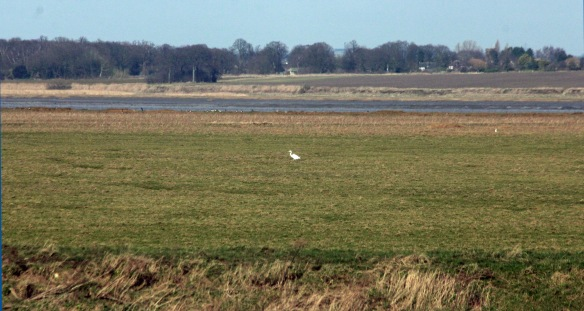 23-02-17-great-white-egret-frodsham-score-frodsham-marsh-paul-ralston